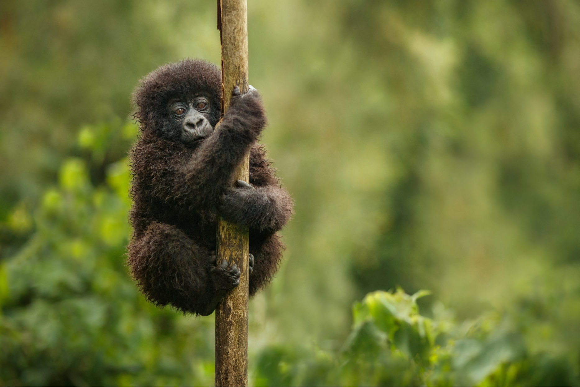 Securing a future for Mountain Gorillas