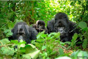 Gorilla Families